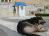 Athene-Syntagma-hond-600