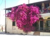 Chios-bougainville-600