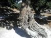chios-mastiekboom-griekenland-600