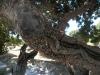 chios-mastiekboom-mastiek-griekenland-600