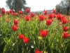 chios-tulpen-natuur-griekenland-600