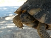 Evia-landschildpad-600