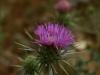 Imbros-kloof-Kreta-bloemen-paarse-distel-600
