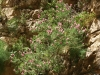 Imbros-kloof-kreta-bloemen-roze-600