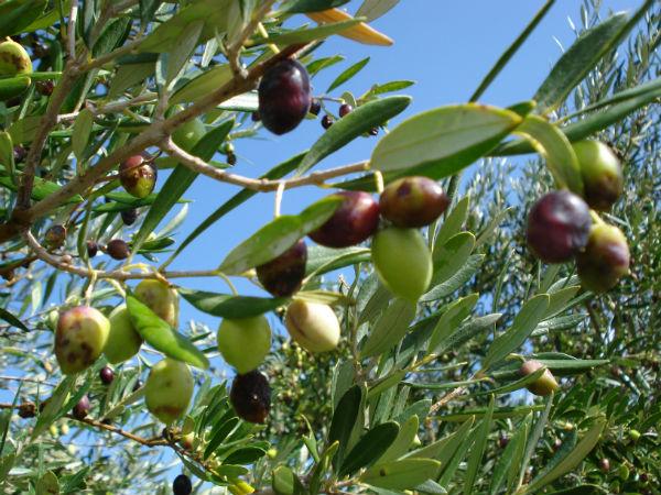 Kreta-olijven-600