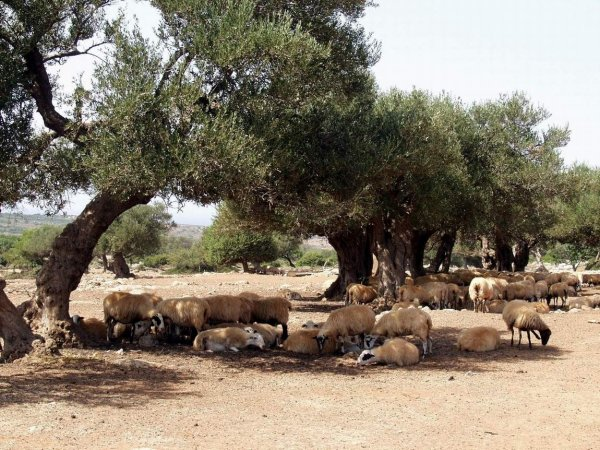 Kreta-schapen-vritomartis-600