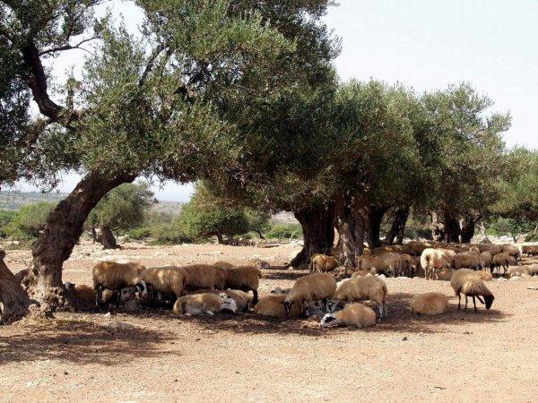 Kreta-schapen-600
