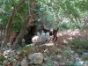 Kreta-Mili-kloof-geiten-600