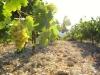 kreta-wijngaard-griekenland-600