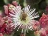 Kreta-Chriss-eiland-bloem-600