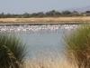 Lesbos-flamingos-zoutmeren-kalloni-600
