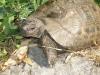Samos-schildpad-600