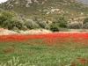 samos-klaprozen-griekenland-600