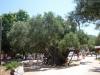 Zakynthos-olijfboom-oudste-eiland-600