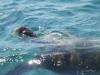 Caretta-Caretta-schildpadden-Laganas-Zakynthos-600