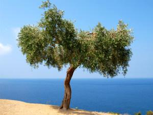 Thassos vakantie olijfboom met uitzicht over zee