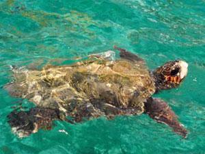 Zakynthos Caretta Caretta zeeschildpad