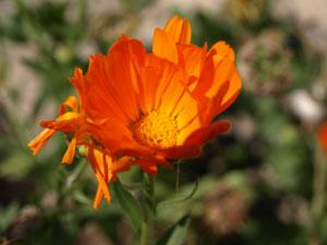 Griekenland-natuur-bloemen-300