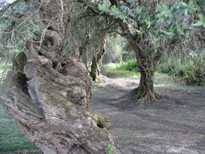 Griekenland-olijfolie-olijfbomen-300
