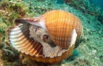 Griekenland vakantie duiken octopus in schelp