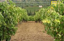 Griekse wijnen wijngaard Nemea