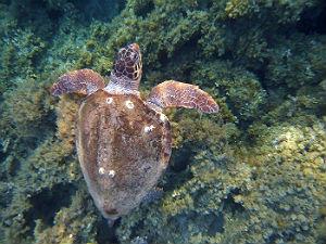 caretta caretta in Marine Park