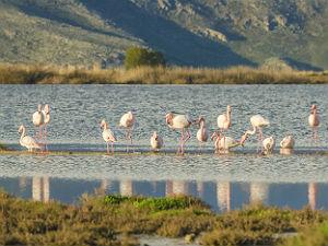 Flamingos bij Tigaki Kos