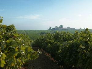 Gerovassiliou wijngaard bij Thessaloniki