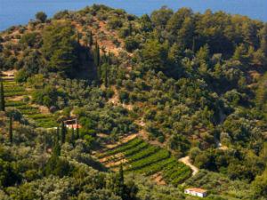 Wijngaarden muskaatdruif Metaxa op Samos