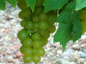 Druiven op Samos