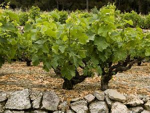 Samos druiven voor zoete Samos wijn