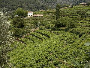 Samos wijn wijngaard