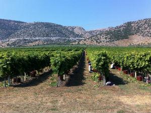 Druivenranken in het zuiden van Evia van Lykos