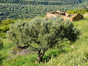 Olijfbomen in Griekenland