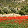 In mei naar Griekenland op vakantie klaprozen