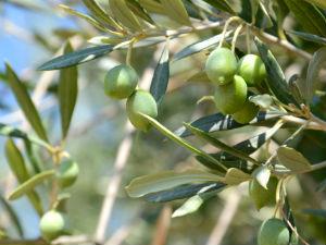 In de winter naar Griekenland op vakantie olijven plukken