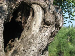 Griekse olijfolie mooie olijfboom