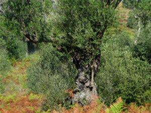 Griekse olijfolie olijfboom