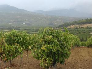 Griekse wijnen en wijnhuizen wijngaard