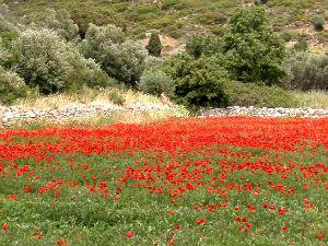 Klaprozen tijdens wandelen op Samos