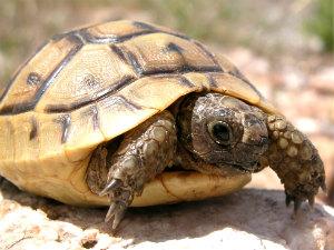 Schildpad op Samos in de natuur