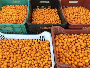 Kumquat Corfu kumquats gesorteerd