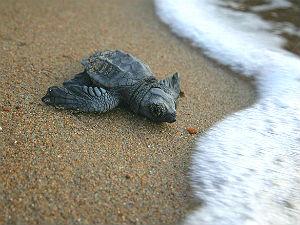 Zeeschildpadden op Kreta  © Archelon