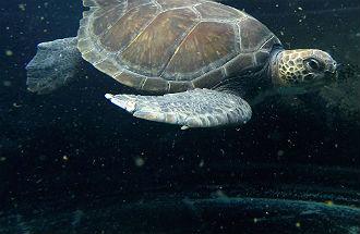Griekenland.net adopteert zeeschildpadden van Archelon