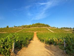 Griekenland Magazine wijngaarden in Chalkidiki