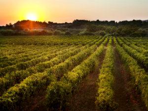 Wijngaard op Rhodos