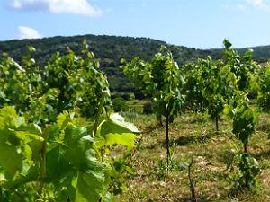 Robola wijngaarden op Kefalonia