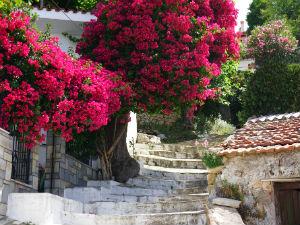 Glossa op Skopelos bougainville