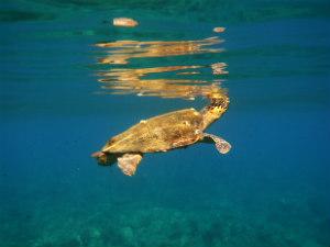 Schildpadden Zakynthos Caretta Caretta in de zee