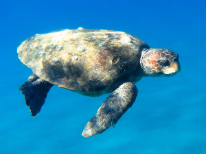 Schildpadden Zakynthos Caretta Caretta aan het zwemmen